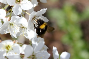 plum blossom - bumble bee
