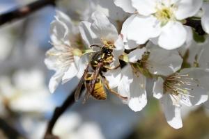 plum blossom - wasp