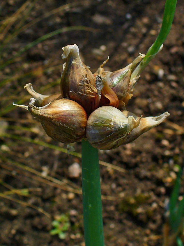 tree onion