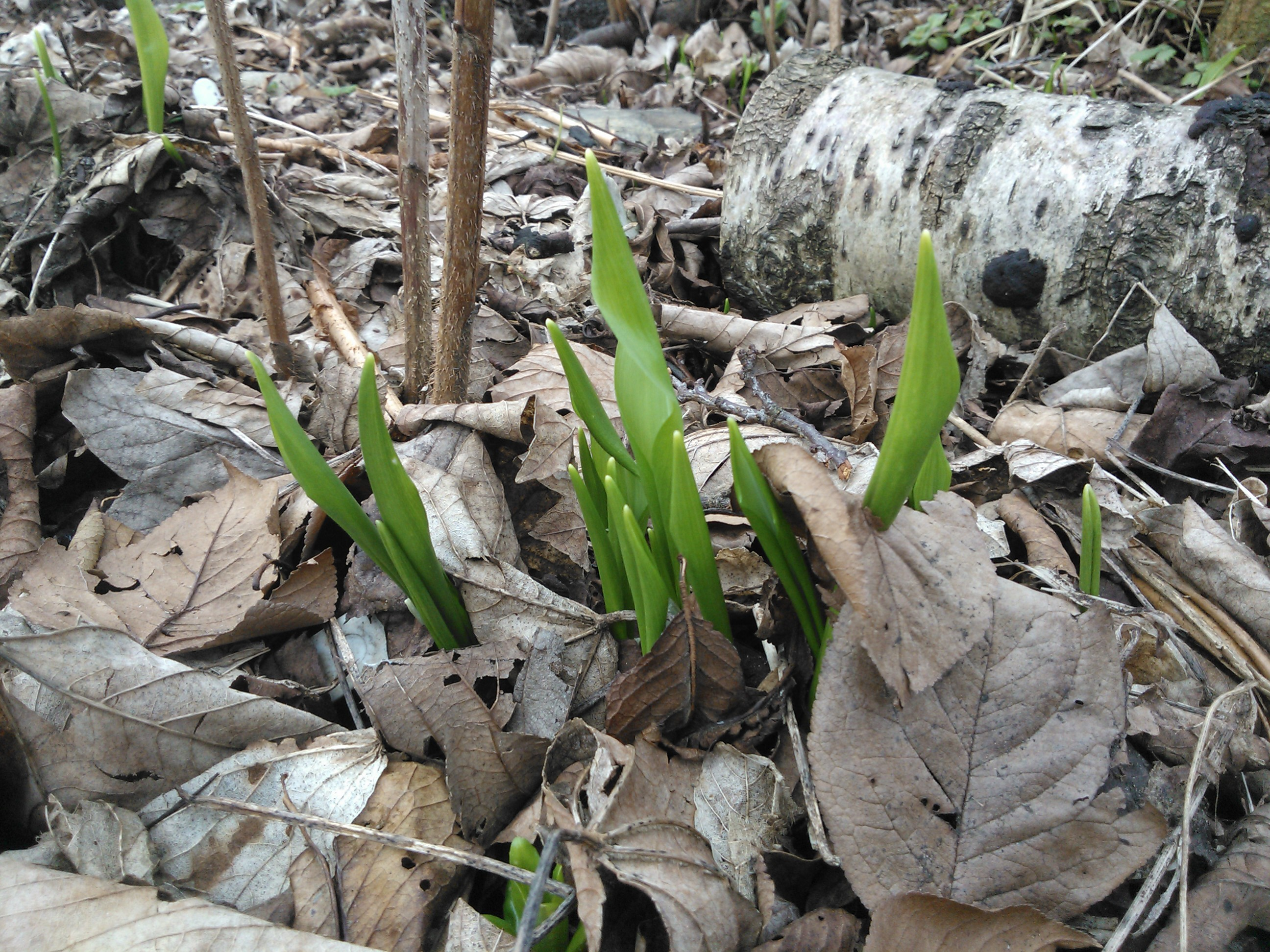 Wild Garlic Plant Wild Garlic Just Emerging