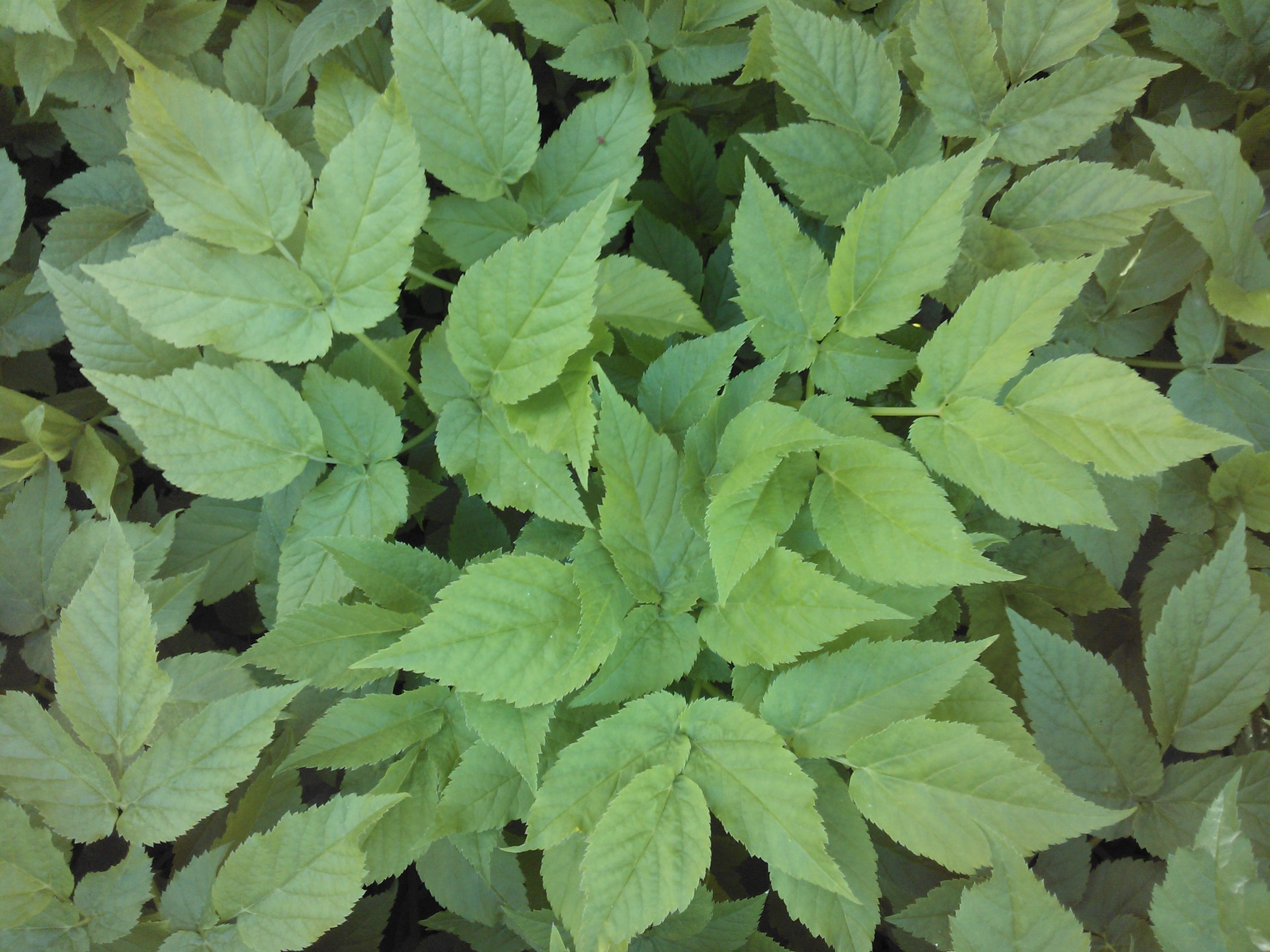 Weeds in flower beds with potato like roots - Ground Elder