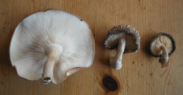 Incredible shrinking shiitake
