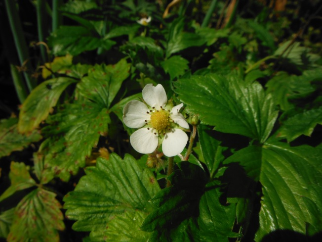 alpine strawberry flower