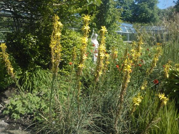 A. lutea growing in the Winter Gardens, Duthie Park, Aberdeen