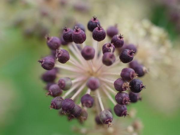 Aralia cordata fruit