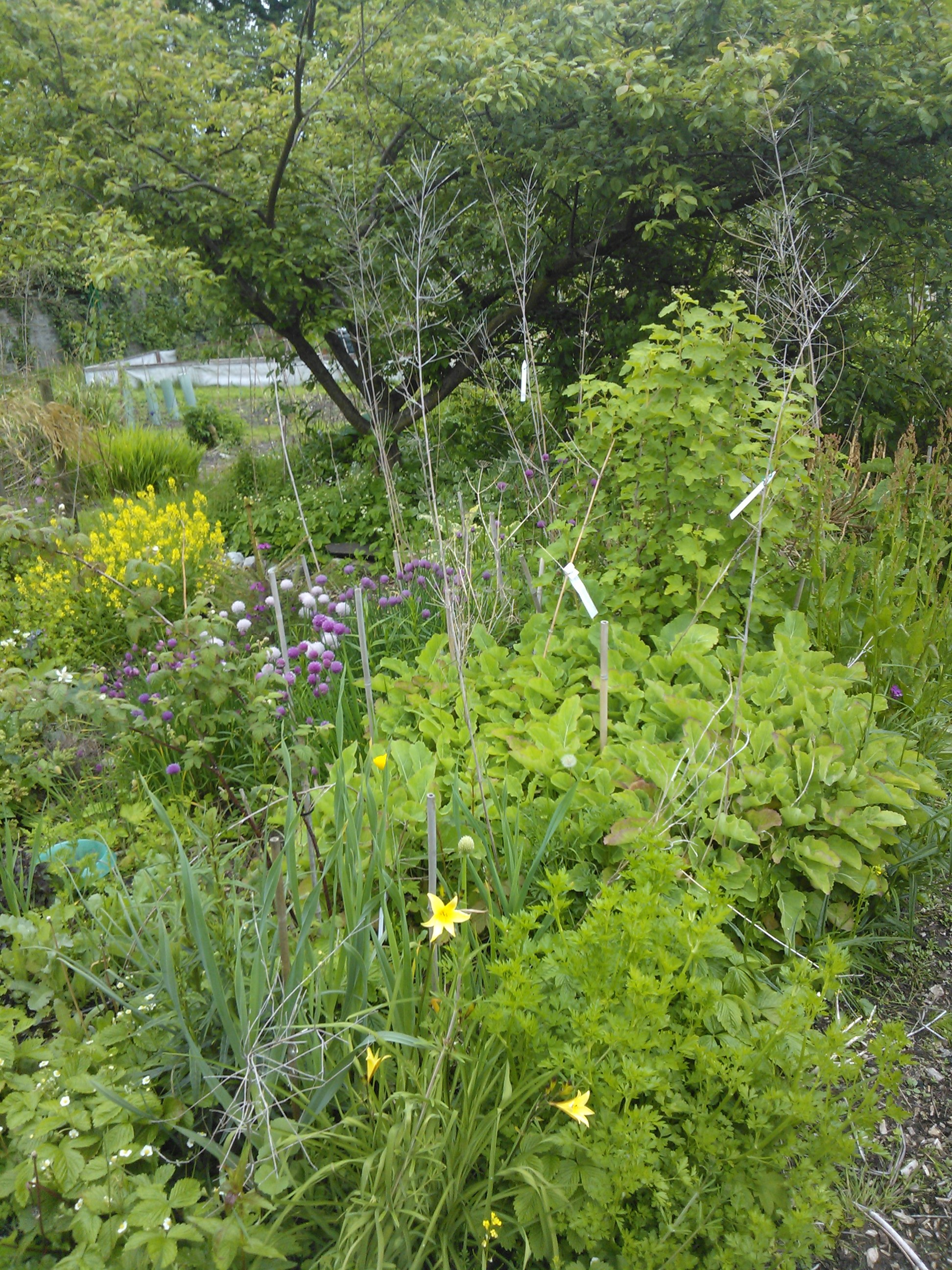 Backyard Forest Garden : While the gardener?s away?  Of Plums and Pignuts