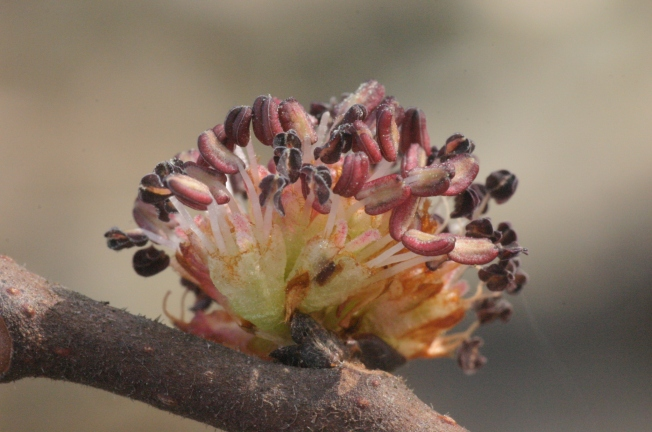 Elm flower, By Hermann Schachner (Own work) [CC0], via Wikimedia Commons