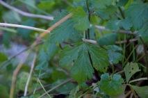 leaf celery