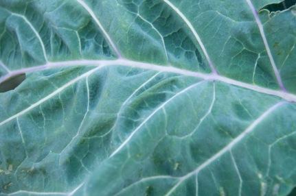 perennial kale